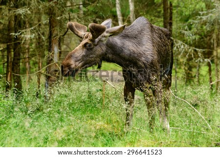 The moose, Alces alces, is the largest living deer. Male or bull grazing among the trees in forest. Velvet on antlers. - stock photo