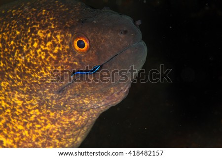 The moray eel at the cleaning station. Little cleaning fish trying to get her piece... Amazing underwater view. Nusa Penida, Indonesia - stock photo