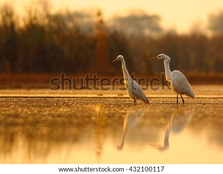 The Morning glory, The great egrets focusing on target to hunt at sunrise time. - stock photo