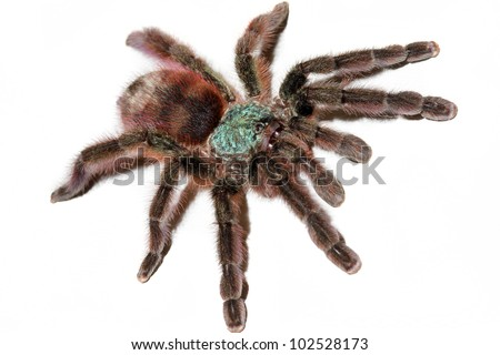 The most beautiful tarantula species in the WORLD! The Martinique Bird Eater! Isolated on white with room for text. - stock photo
