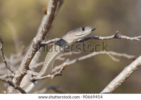 The most dangerous snake in South Africa, the Black Mamba - stock photo