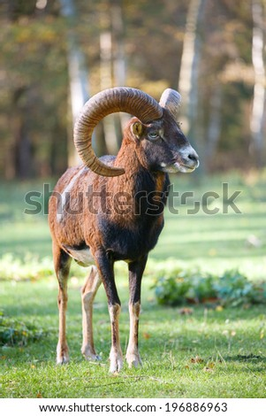 The mouflon (Ovis orientalis) in the forest - stock photo