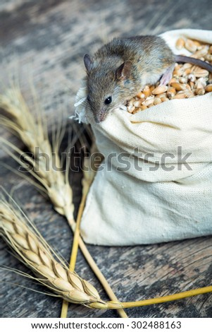 The mouse nibbles grain of wheat out of the bag - stock photo