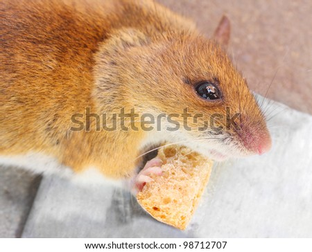 The mouse with her cheese. Close up with shallow DOF. - stock photo