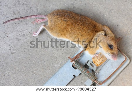 The mouse with her cheese in the trap. Close up with shallow DOF. - stock photo