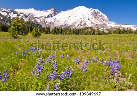 The MT Rainier with Beautiful Wildflower in the foreground - stock photo