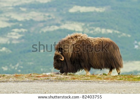 The MuskOx (Norway) - stock photo