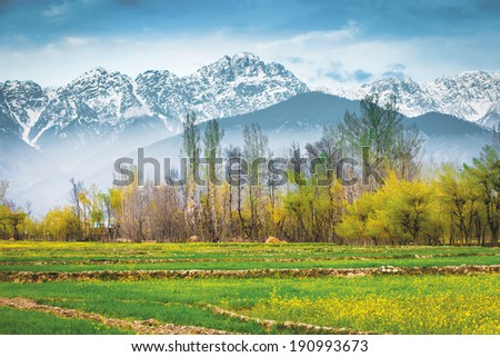 The Mustard field with Himalaya background (Kashmir, India) - stock photo