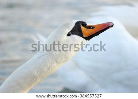 The mute swan (Cygnus olor) posing - stock photo