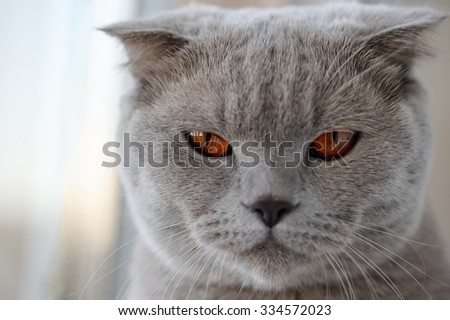 The muzzle of gray British lop-eared cat, with large, bright amb - stock photo