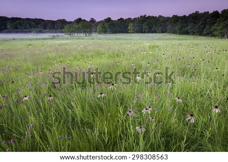 The native grasses of Churchill Prairie Nature Preserve are punctuated by coneflower and purple prairie clover just before sunrise.  DuPage County, Illinois.  - stock photo