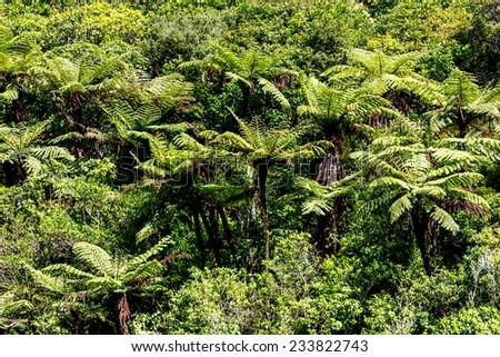 The New Zealand native bush. Fern tree  - stock photo