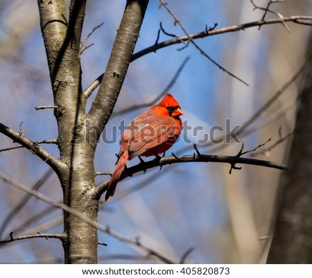 The northern cardinal is a North American bird in the genus Cardinals; it is also known colloquially as the redbird or common cardinal During courtship, the male feeds seed to the female beak-to-beak - stock photo