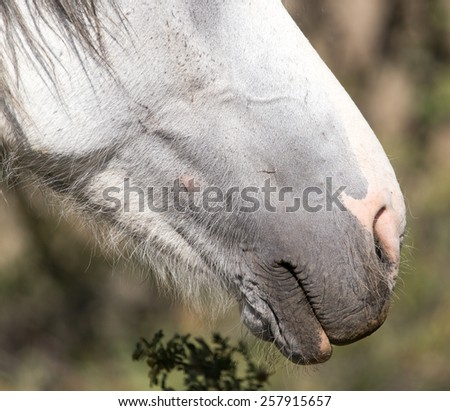 the nose of a white horse - stock photo