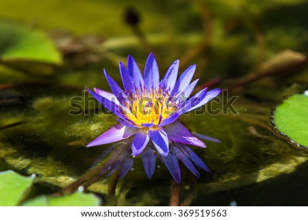 The Nymphaeaceae are aquatic flowers, rhizomatous herbs. Members of this family are commonly called water lilies, this one is called Blue Beauty - stock photo