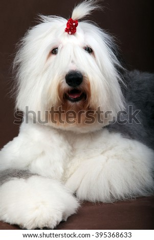 the Old English Sheep dog in studio - stock photo