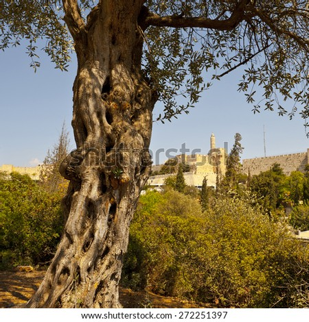The Old Olive Tree on the Background of the Ancient Walls of Jerusalem - stock photo