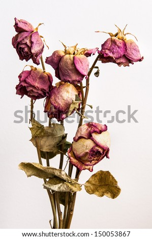 The old roses - stock photo