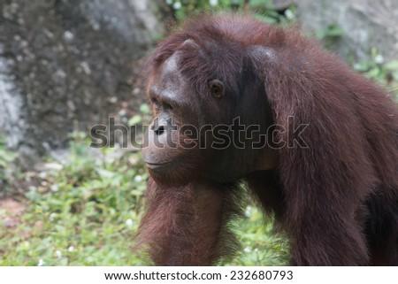 the orangutan - stock photo