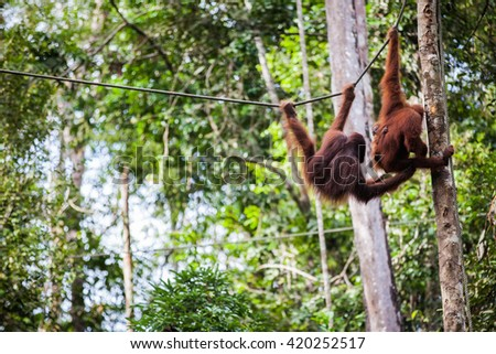 the orangutan in the wild - stock photo