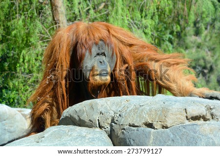The orangutans, orang-utan, orangutang, or orang-utang) are the two exclusively Asian species of extant great apes. Native to Indonesia and Malaysia in the rainforests of Borneo and Sumatra. - stock photo