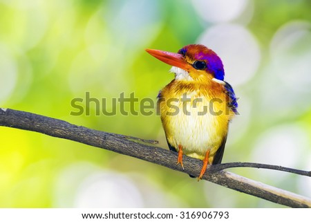 The Oriental dwarf kingfisher (Ceyx erithaca) also known as the black-backed kingfisher or three-toed kingfisher is a species of bird in the Alcedinidae family. - stock photo