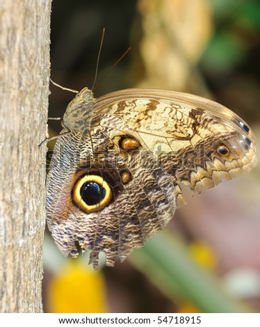 The Owl butterfly in profile  resting on a tree trunk - stock photo
