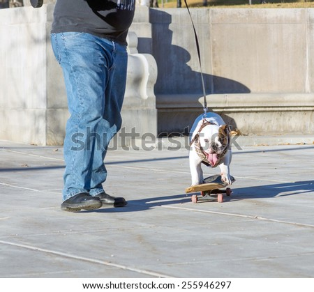 The owner teaches skateboarding English bulldog - stock photo