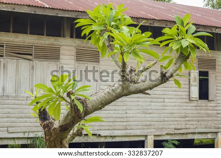 The Pagoda Tree in a backyard garden and old Wood building - stock photo