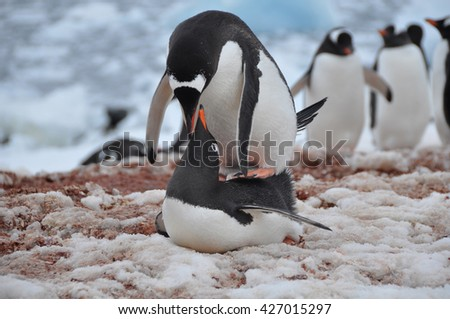 The pairing of two penguins on the beach of Antarctica - stock photo