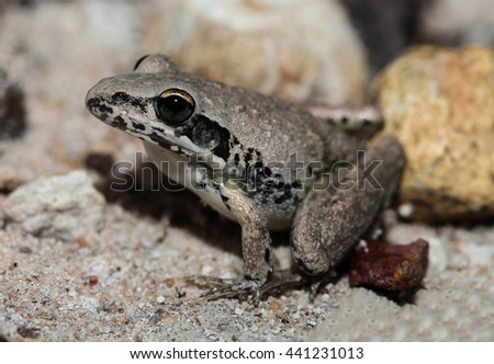 The pale frog is a species of frog in the Hylidae family, endemic to Australia. Its natural habitats are subtropical or tropical dry forests, subtropical or tropical seasonally wet. - stock photo