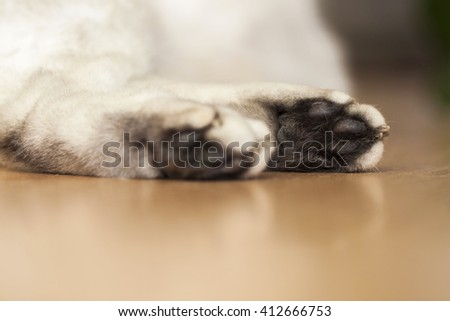 The paw of a lying British silver-colour cat - stock photo