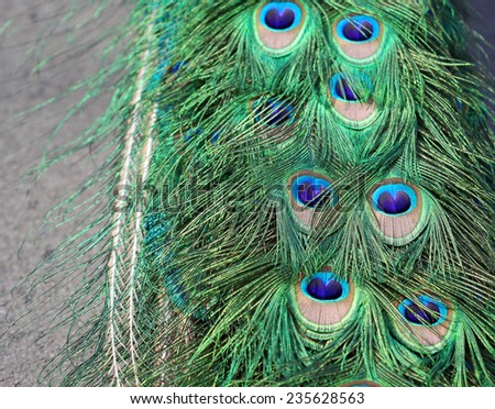 The peacock colorful tail feathers close up - stock photo