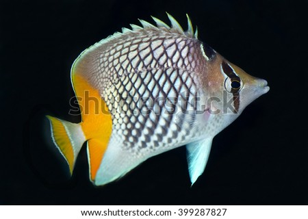 The Pearlscale Butterflyfish,Chaetodon xanthurus, is a species of butterflyfish also known as Yellow-tailed Butterflyfish or Philippines Chevron Butterflyfish  - stock photo