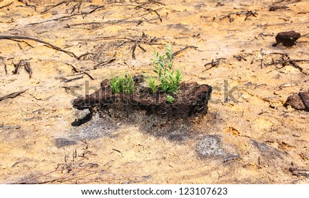 The peat remains with a grass among the burned-down dry bog - stock photo