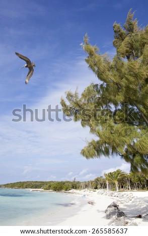 The pelican flying over an empty beach on Little Stirrup Cay uninhabited island (The Bahamas). - stock photo