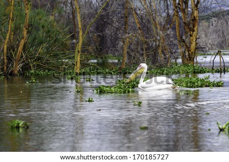The pelican in Naivasha lake of Kenya. - stock photo
