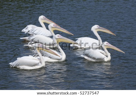 The pelican swum by a group - stock photo