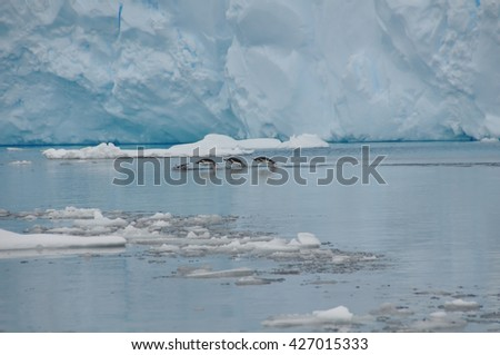 The penguins emerge from the water against the backdrop of huge glacier - stock photo