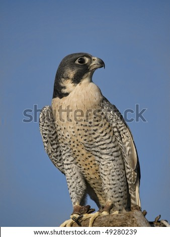 "The Peregrine Falcon (Falco peregrinus), also known as the Peregrine, and historically as the ""Duck Hawk"" in North America. Jess on legs. - stock photo"