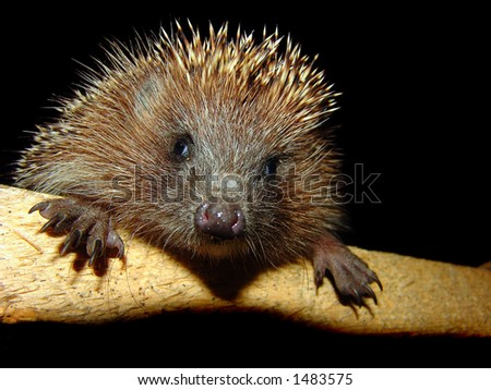The photo of the pretty hedgehog. flash light - stock photo