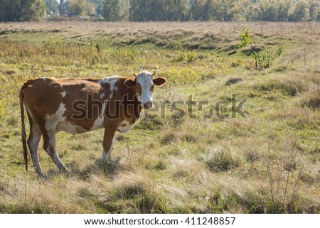 The photo shows a cow in a meadow - stock photo