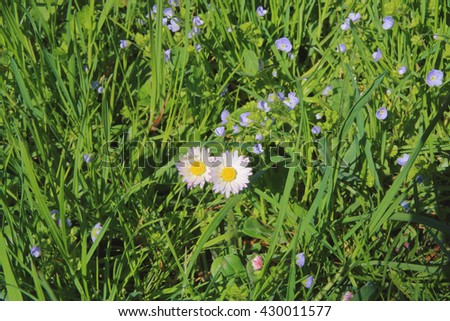 The picture was taken in the spring on a wild meadow. The photograph shows wild flowers in the lush spring grass. - stock photo