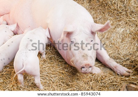 The pig feeds small pink pigs - stock photo