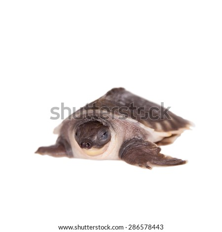 The pig-nosed turtle on white - stock photo