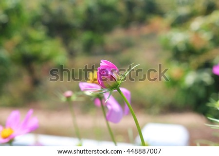 The pink flowers are spectacular in summer. - stock photo