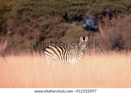 The plains zebra (Equus quagga, formerly Equus burchellii) in high yellow grass in the morning light - stock photo