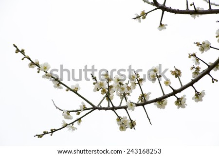 The plum blossoms bloom luxuriantly in a sunny winter with white background, likes Chinese ink and wash painting. - stock photo