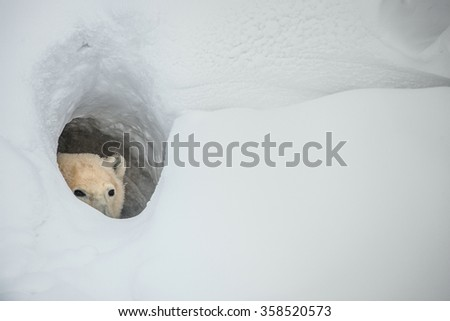 The polar bear looks out of a snow den - stock photo
