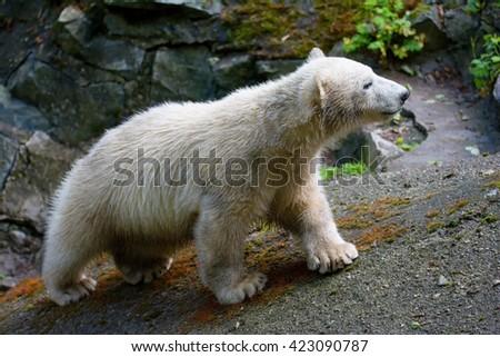 The polar bear (Ursus maritimus) beautiful animals in the pictures - stock photo